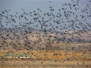 cazar palomas torcaces