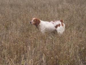 perros de caza en venta