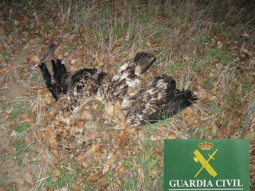 Aguila Imperial Iberica Envenenada