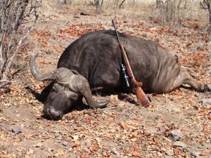 Búfalo en Zimbawe en Cazaworld