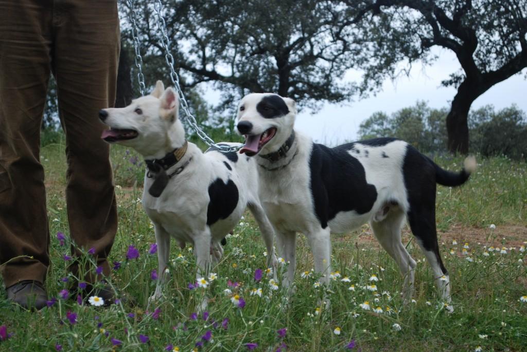podenco paternino reconocido como raza de perro de caza