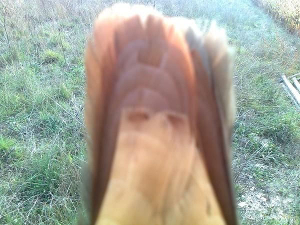 Gallo banda en jornada de caza