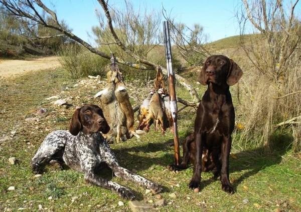 perdices -conejos por braco alemán de caza