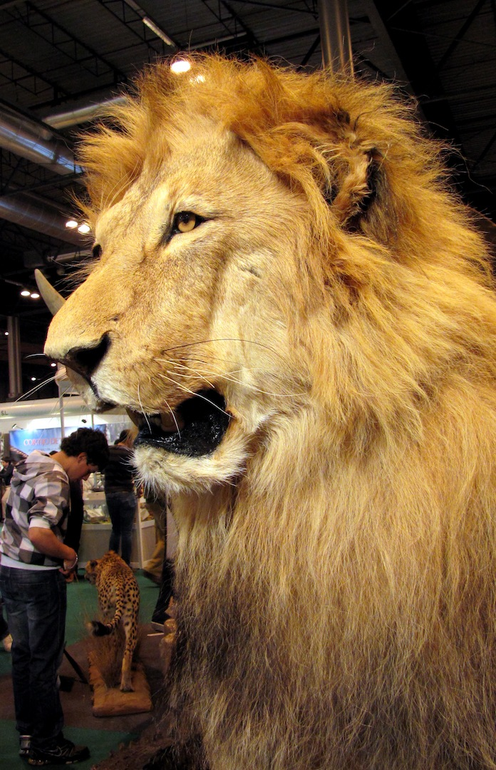 León en Taxidermia