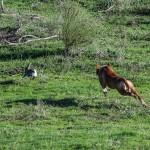 Podenco andaluz tras un conejo a la carrera.