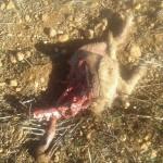 Perro devorado por lobos en Friera de Valverde.