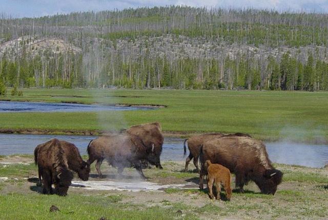 bisontes yellowstone