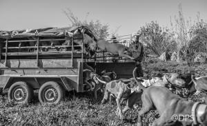 Suelta de la rehala. Los perros salen del carro con ganas de comerse el campo.