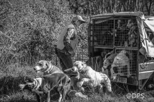El rehalero abre las puertas del carro, los perros salen con fuerza al campo.