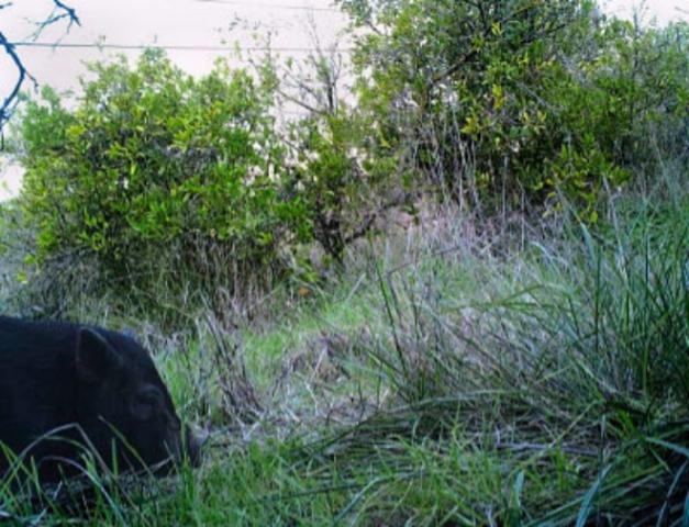 cerdoli camara trampa @Delibes