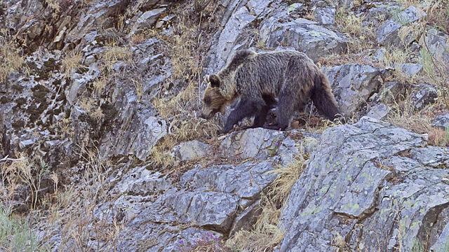 Un oso pardo de nuestros montes / Juan Lacruz
