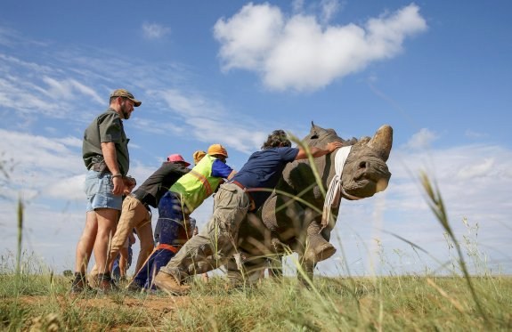 Workers attempt to bring a tranquillised black rhino to the ground before dehorning in an effort to deter the poaching of one of the world's endangered species, at a farm outside Klerksdorp, in the north west province, South Africa, February 24, 2016.REUTERS/Siphiwe Sibeko TPX IMAGES OF THE DAY