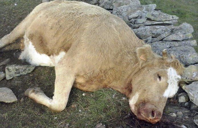 Vaca matada por lobo
