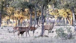 ciervos-caza-cordoba--620x349