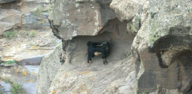 Cabra-asilvestrada-Canarias-Ahora