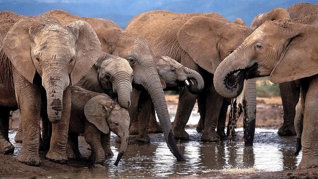 elefantes-africanos EPA