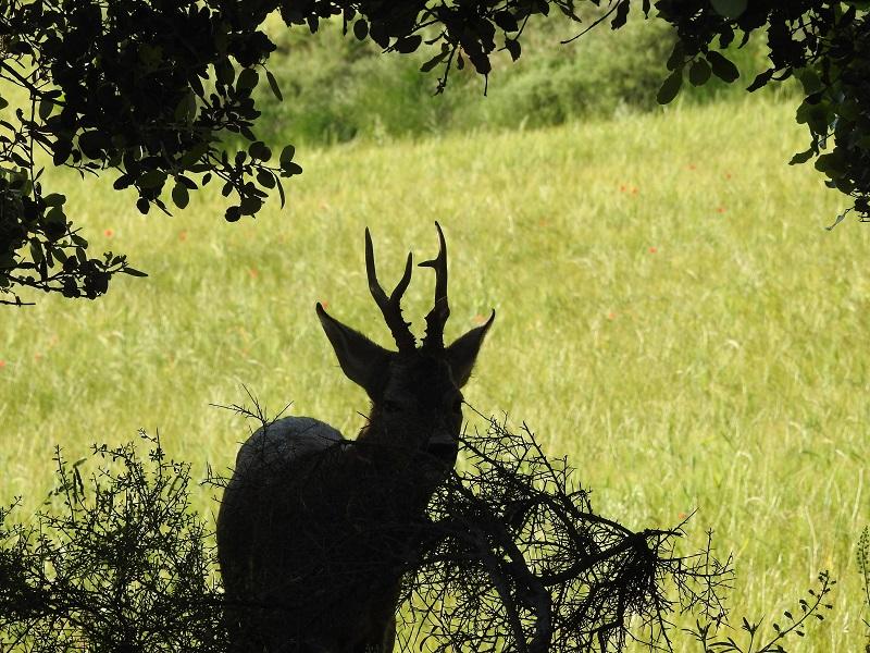 Corzo macho camuflándose entre la vegetación.