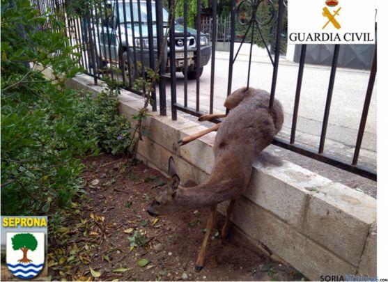 Corza atrapada en valla