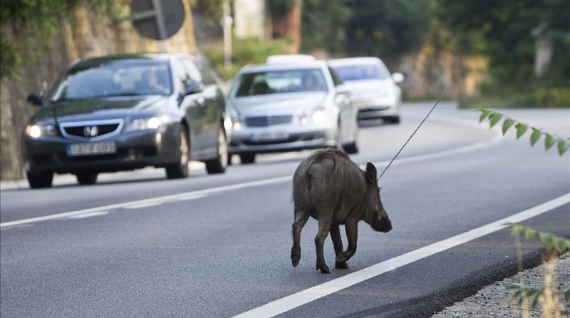Jabalí invadiendo carretera