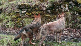 Lobos ibéricos infectados de sarna en Asturias.