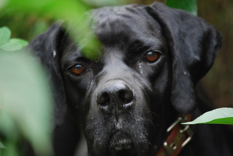 perro de caza unitega