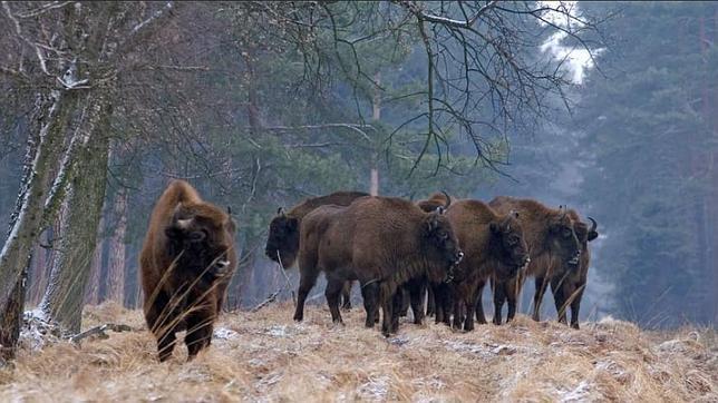 bisontes europeos jan sochacki