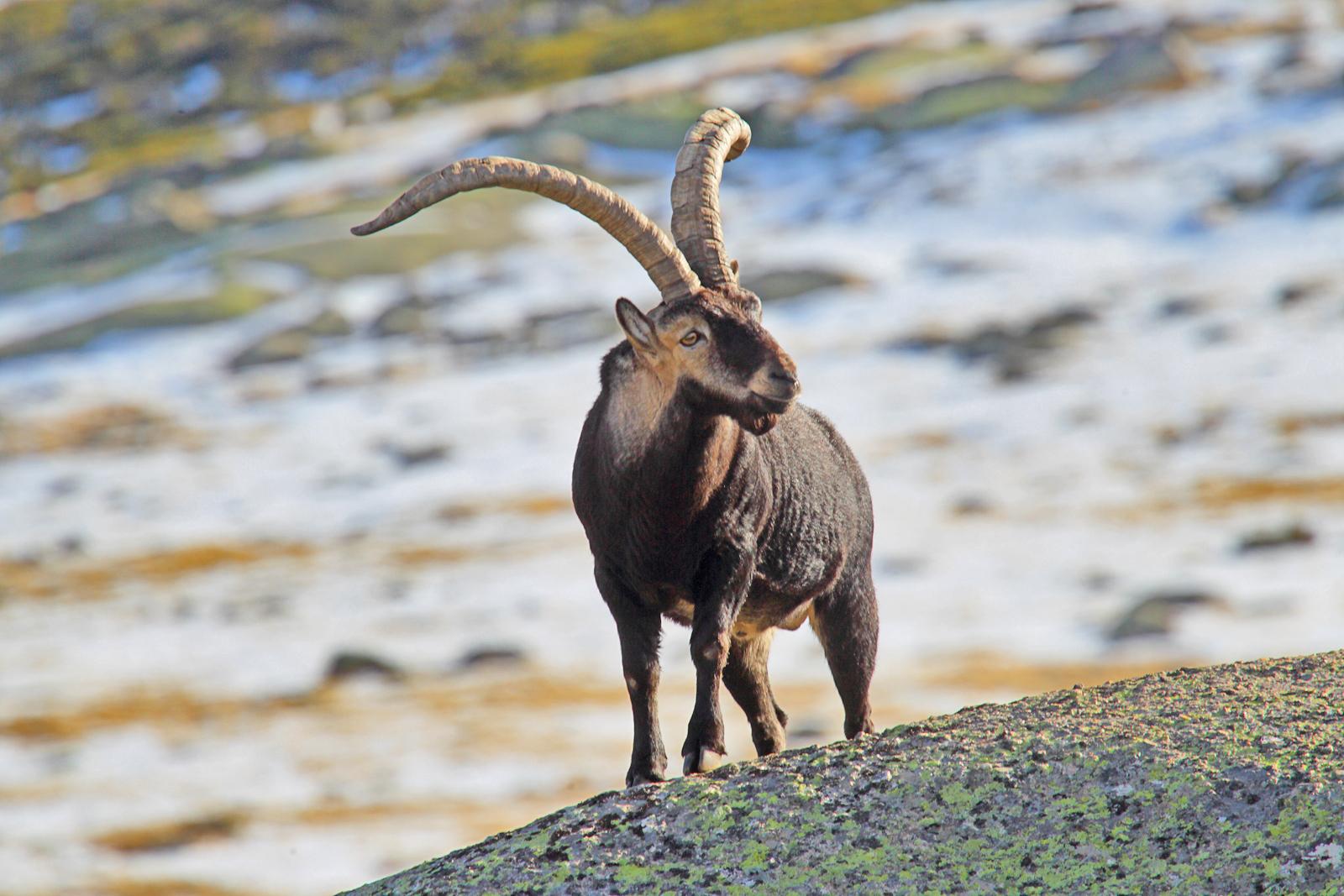 Precioso ejemplar, macho, de cabra montés.