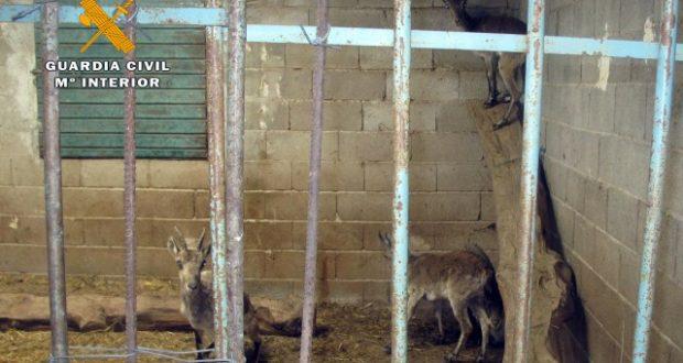 cabras montesas cautividad