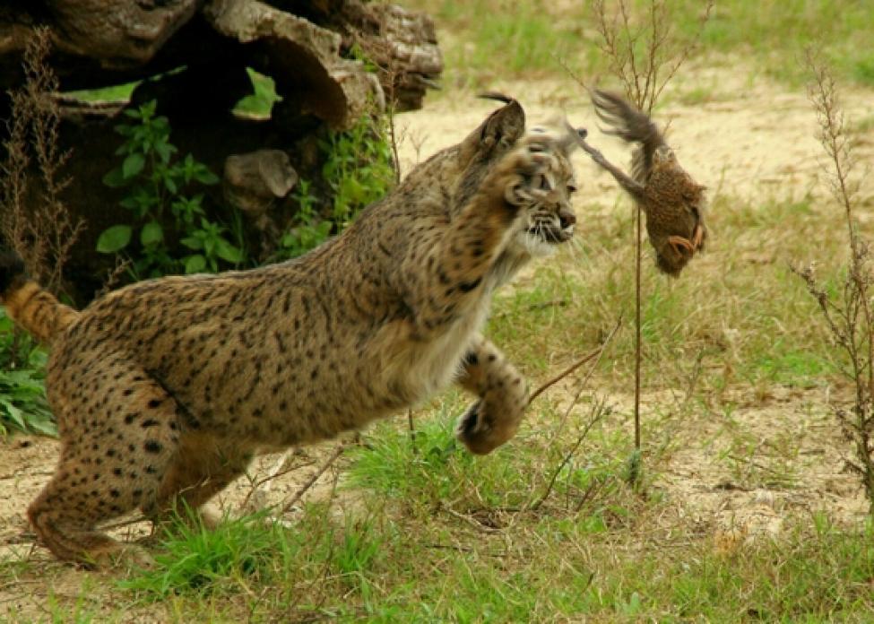 Fotografía de un lince ibérico intentado cazar una codorniz. Autor: Manedwolf
