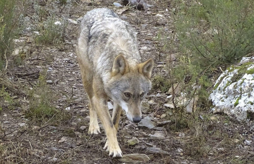 lobo madrid