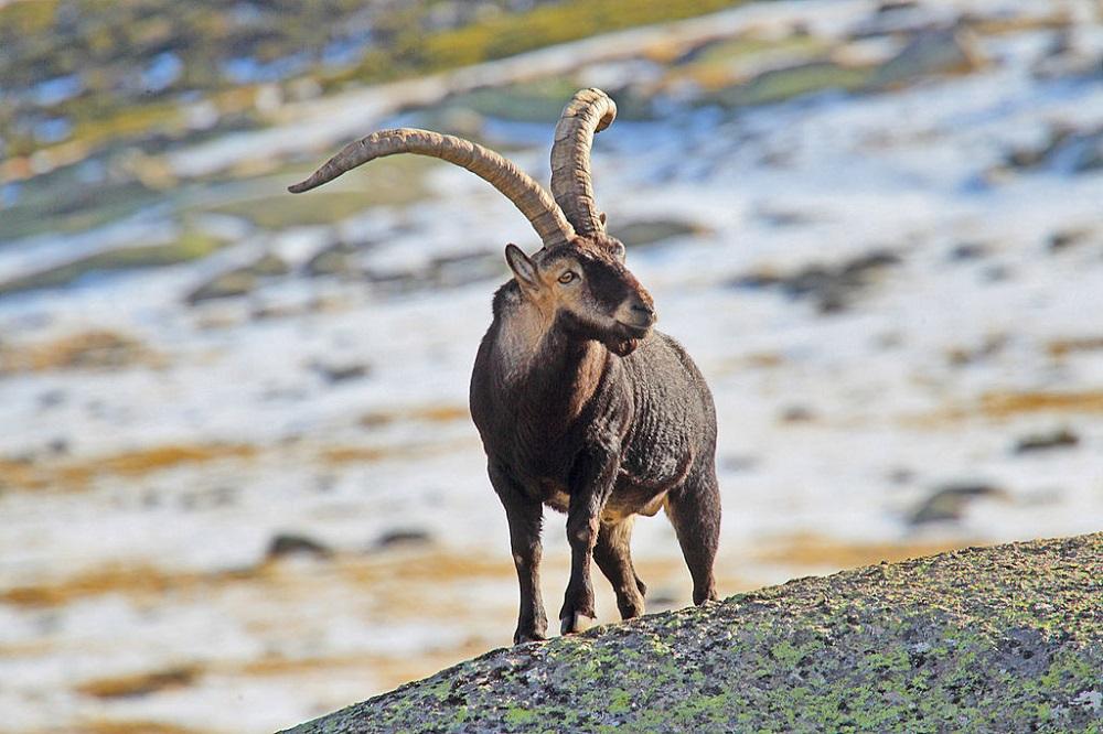 Macho de cabra montés / Juan Lacruz