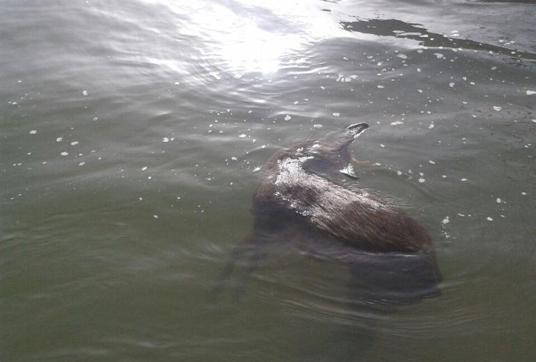 corzo ahogado