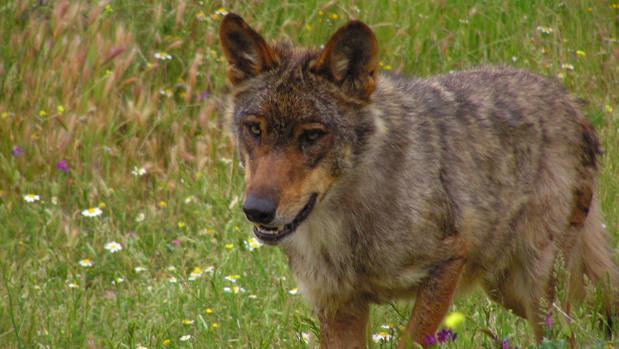 lobo iberico