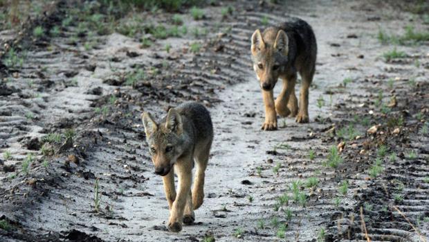 lobos-en-noruega