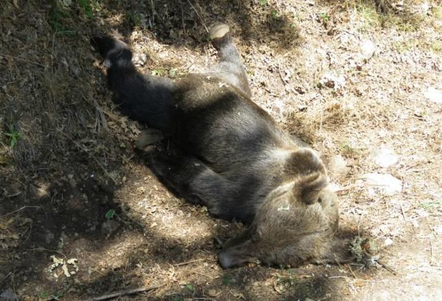 Oso pardo hallado muerto en Asturias.