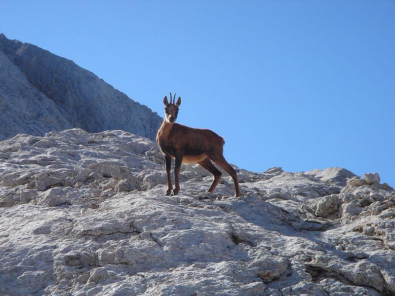 Rebeco en los Picos de Europa.