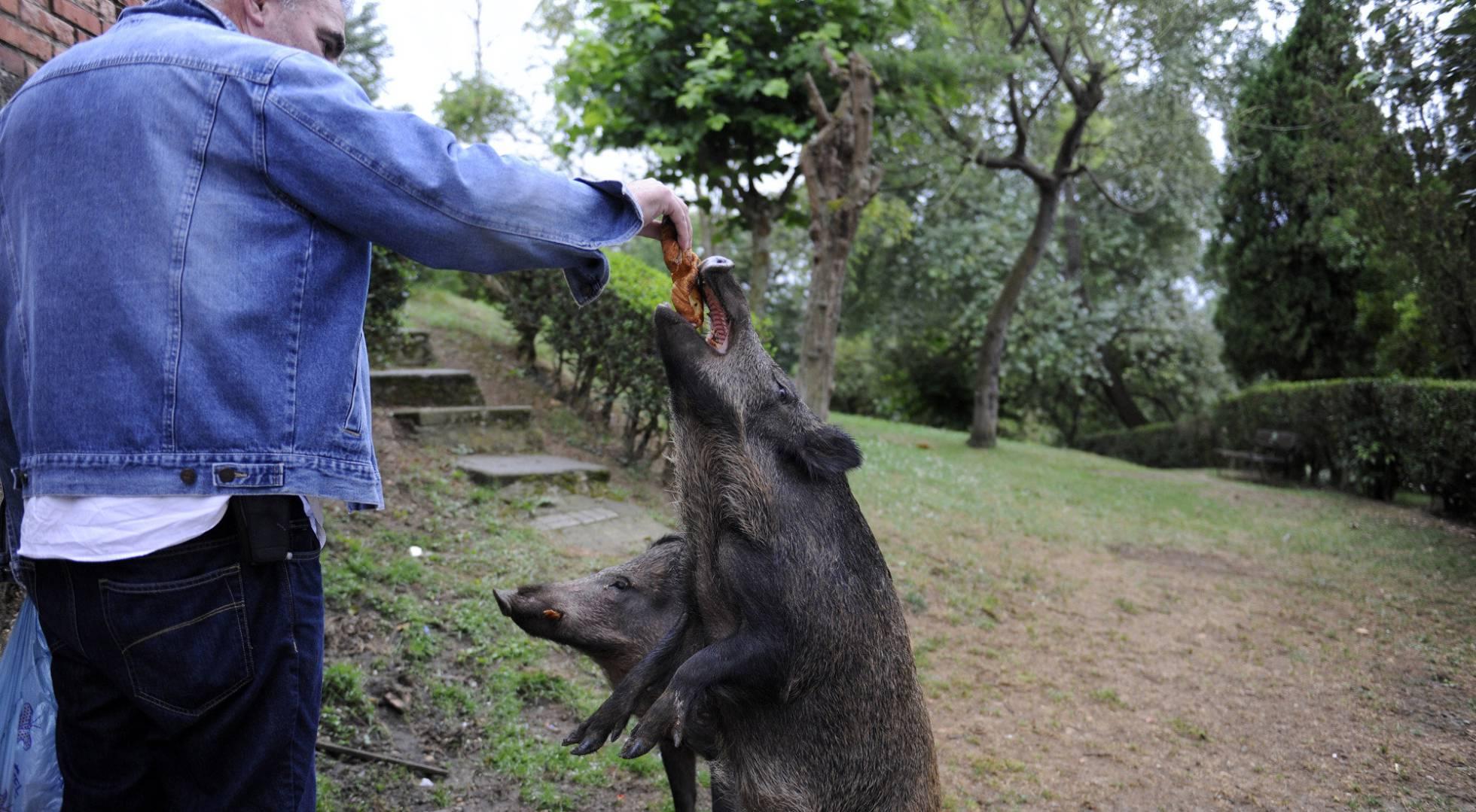 vecino-alimentando-jabali