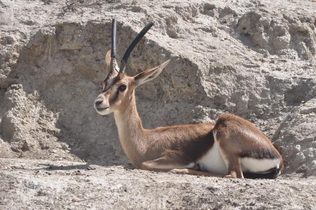 gacela-de-cuvier-atlas