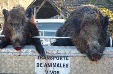 Fotografía de los jabalíes cobrados durante una batida en Galicia. Caza social.