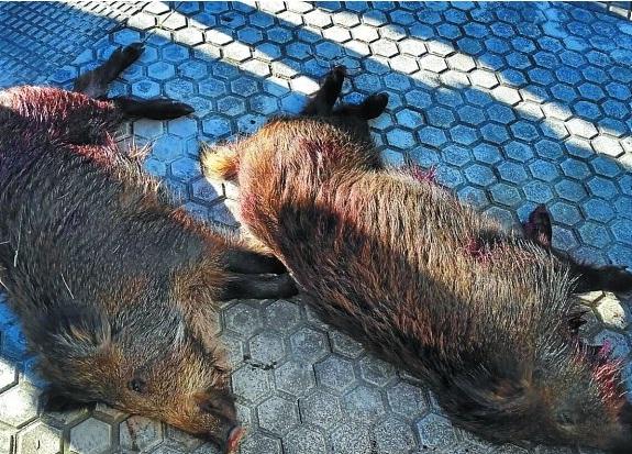 Dos de los jabalíes abatidos en San Sebastián el pasado domingo