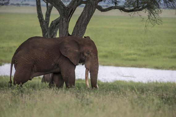 elefante-furtivismo