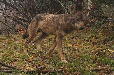 Para el FAPAS, el lobo ataca más al ganado por falta de jabalís.