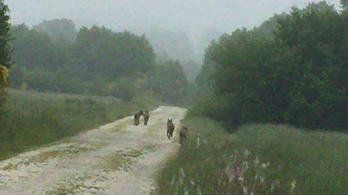Lobos en la pista lucense de Santaballa