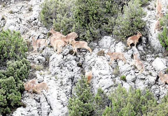 Arruís en el Parque Regional de Sierra Espuña / Guillermo Carrión-AGM