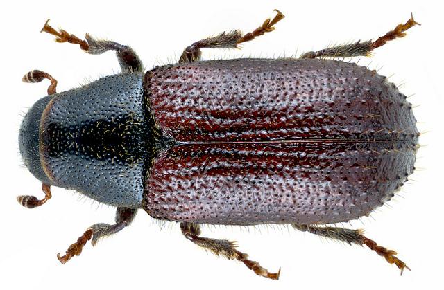 "Escarabajo perforador ""Tomicus destruens""."