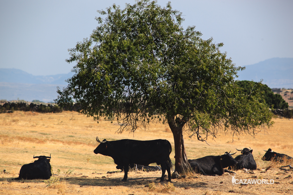 vaca-ganaderia-tuberculosis