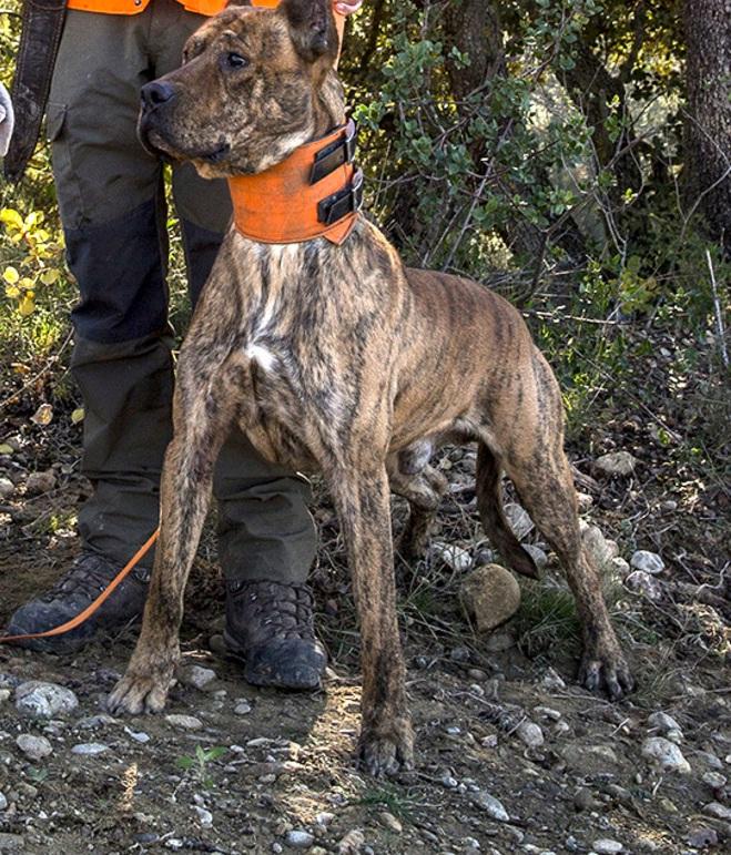 Zeus es uno de los alanos españoles con los que Óscar ha reemplazado a sus dogos / Crónica El Mundo