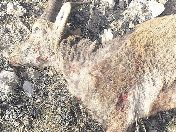 cabra-muerta-sarna