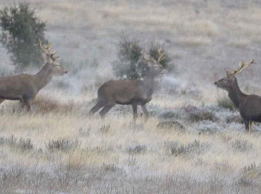 ciervos-zamora