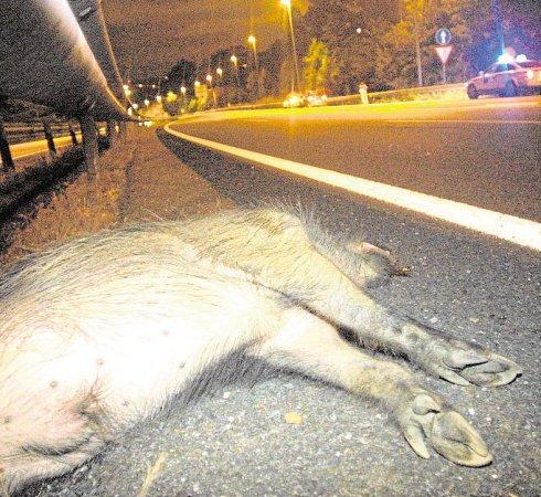 Un jabalí yace en la carretera tras un atropello. (Luis Calaboir)